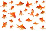 Fantail+goldfish+collage