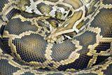 Burmese+Python