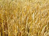 Wheat+field