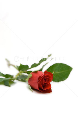 red rose isolated on whit